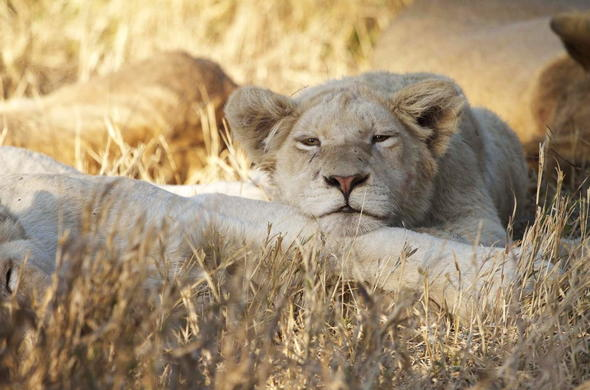 Timbavati lions taking a nap.