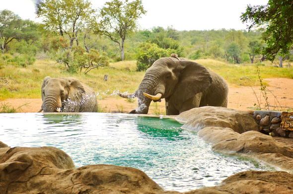 Elephants cooling off at the pool.