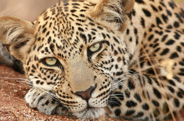 Get up an closed with leopards and other Timbavati Reserve wildlife.