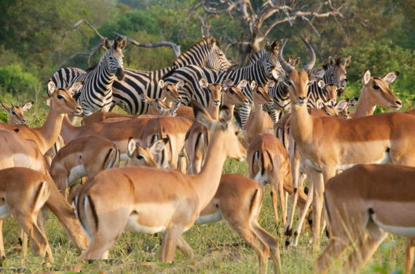 Timbavati Private Game Reserve has an abundance of antelope.