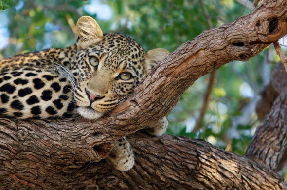 See a leopard in Timbavati Private Game Reserve.