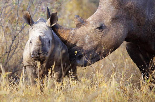Rhino and calf in Timbavati Private Game Reserve.