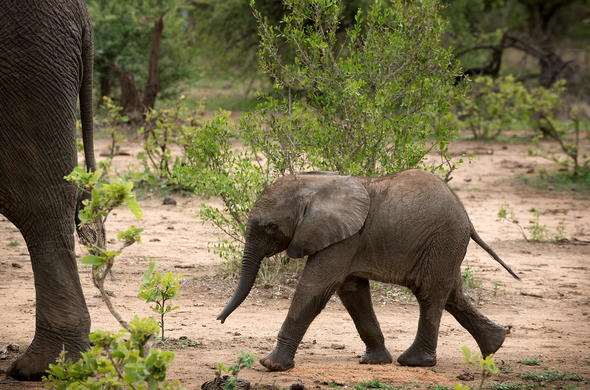 Baby elephant walking in Timbavati Private Game Reserve.