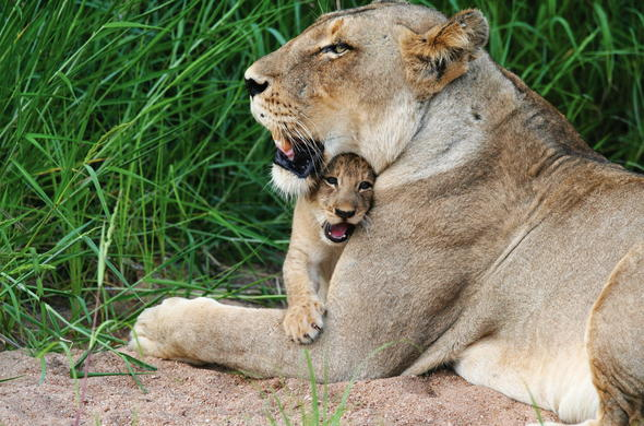 Mother and cub resting in the grass.